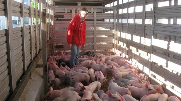 Swine App 005